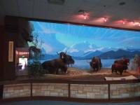 青藏高原的野生氂牛<br/> 攝影:簡時強