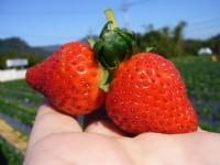 草莓<br/> 攝影:林玉婷