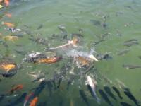 魚池裡的鯉錦魚<br/> 攝影:簡時強