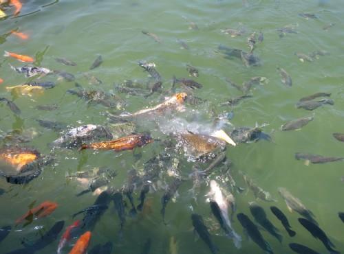 花蓮觀光糖廠(光復糖廠)-魚池裡的鯉錦魚