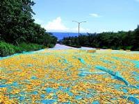 路邊也曬滿金針花<br/> 攝影:李豪