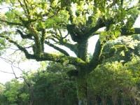 大樹<br/> 攝影:簡時強