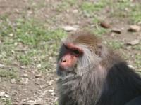 台灣獼猴<br/> 攝影:簡時強