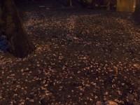 金色地毯(夜拍桐花)<br/> 攝影:xcatx