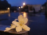 夜拍桐花(金色的)<br/> 攝影:xcatx