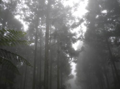 溪頭自然教育園區(溪頭森林遊樂區)-溪頭迷霧森林