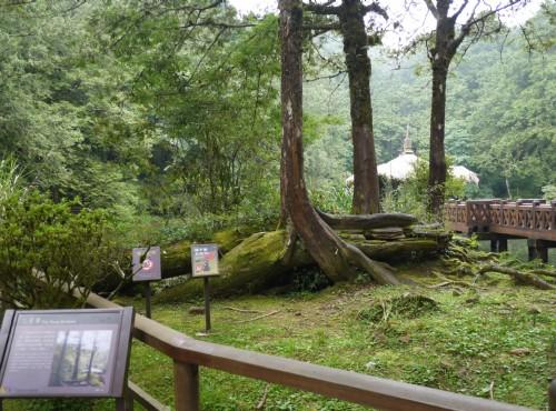 Alishan Forest Recreation Area-201407三兄弟神木