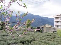 草坪頭玉山觀光茶園