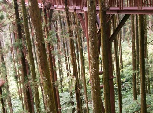 溪頭自然教育園區(溪頭森林遊樂區)-林間的空中走廊