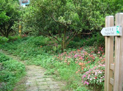 鹿寮坑桐花步道