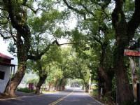 綠色隧道兩旁古樹&#21442;天<br/> 攝影:老山羊部落格