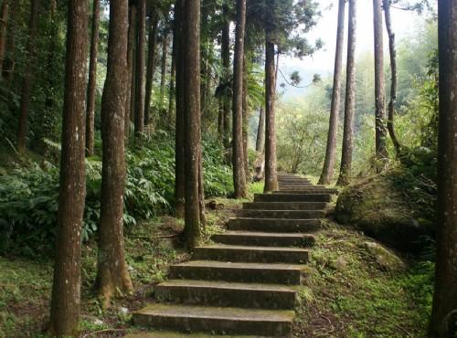 溪頭自然教育園區(溪頭森林遊樂區)-杉林步道