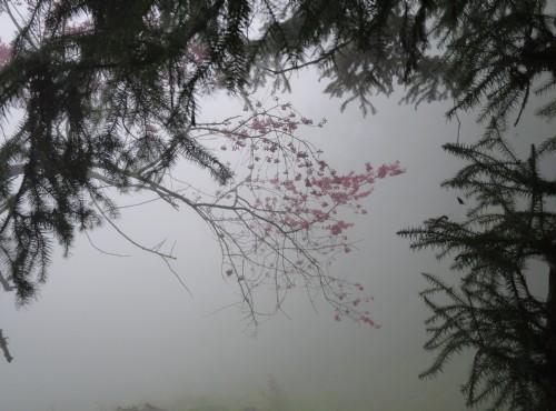 溪頭自然教育園區(溪頭森林遊樂區)-溪頭觀景步道霧中櫻花