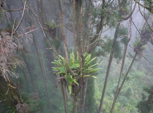 溪頭自然教育園區(溪頭森林遊樂區)-從空中走廊看附生植物