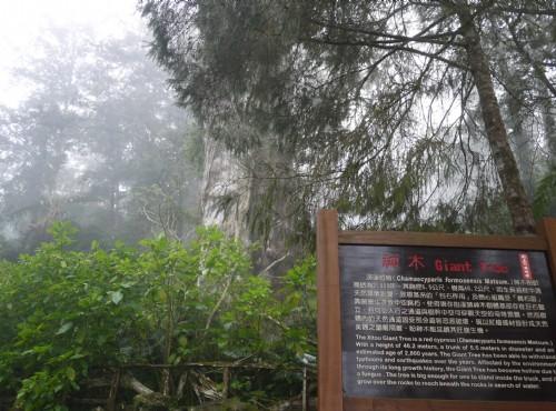 溪頭自然教育園區(溪頭森林遊樂區)-溪頭神木