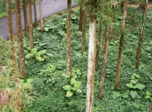 溪頭自然教育園區(溪頭森林遊樂區)-空中走廊俯看林間植被