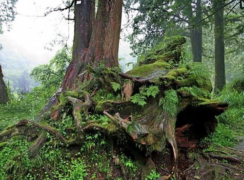 阿里山神木-樹根長滿青苔