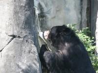 台灣黑熊<br/> 攝影:簡時強