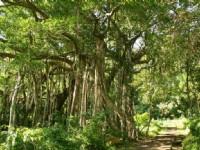 榕蔭步道的榕樹<br/> 攝影:老山羊部落格