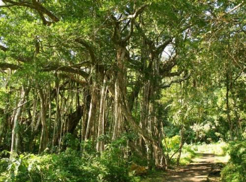 知本国家森林游乐区-榕蔭步道的榕樹