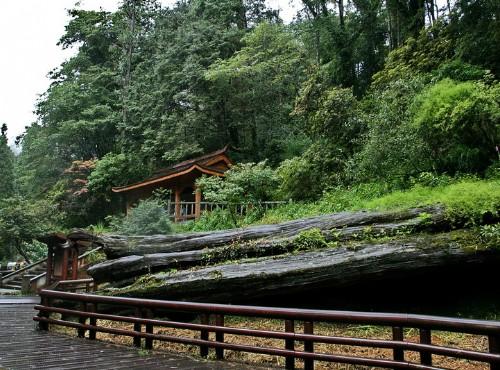 阿里山神木-被吹倒的阿里山神木
