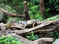 綠鬣蜥贏了<br/> 攝影:陳銘祥