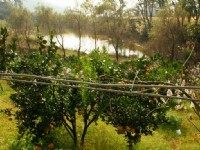 天然湖的橘子園<br/> 攝影:老山羊部落格