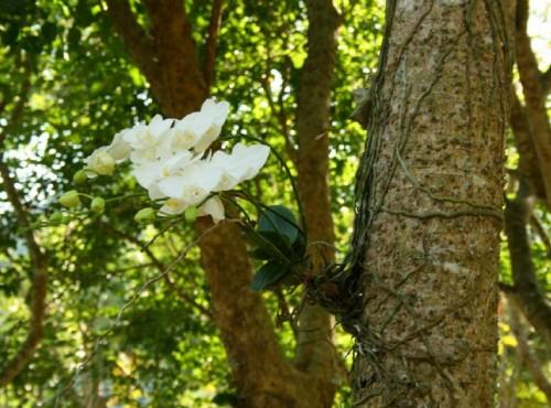 知本国家森林游乐区-植物園區的台灣蝴蝶蘭區