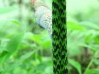 像青竹絲蛇的藤<br/> 攝影:簡時強