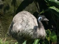 鴯鶓(EMU)<br/> 攝影:簡時強