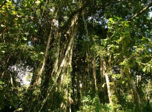 知本国家森林游乐区-榕蔭步道的榕樹特寫