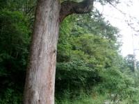 沿途巨木<br/> 攝影:余燕鳳