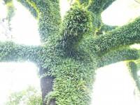 爬滿苔蘚植物的樹<br/> 攝影:簡時強