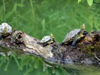 抬頭挺胸的烏龜<br/> 攝影:陳銘祥