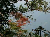 闊葉林的楓香<br/> 攝影:老山羊部落格