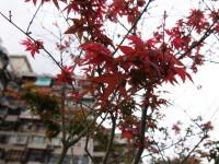 楓葉楓紅<br/> 攝影:簡時強