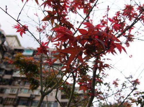 北投溫泉-楓葉楓紅