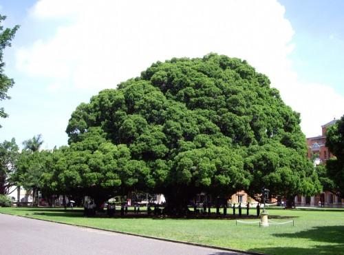 成功大学-光复校区-大榕树
