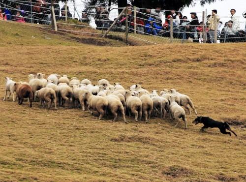 清境農場-趕綿羊秀