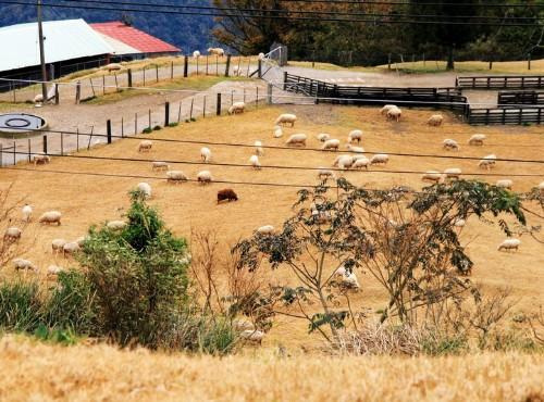 清境農場-黃金草原的羊群