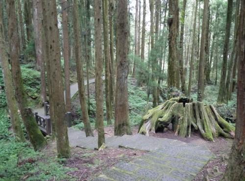 Alishan Forest Recreation Area-201407木群棧道