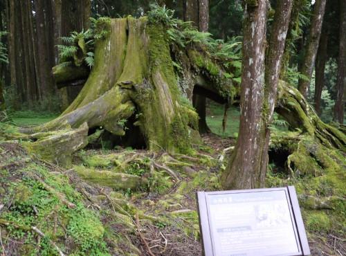 Alishan Forest Recreation Area-201407金豬報喜