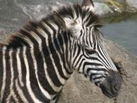 哈特曼山斑馬<br/> 攝影:簡時強