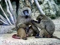 互相搔癢的猴子<br/> 攝影:陳銘祥