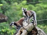 白頸狐猴<br/> 攝影:陳銘祥