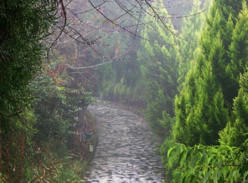清境農場-柳杉步道