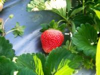 龍騰斷橋週邊草莓園<br/> 攝影:Eva隨手拍