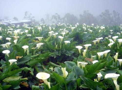竹子湖-霧氣瀰漫的海芋花海