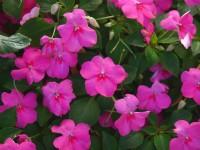 粉紅鳳仙花<br/> 攝影:簡時強