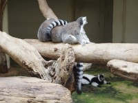 環尾狐猴<br/> 攝影:Eva隨手拍